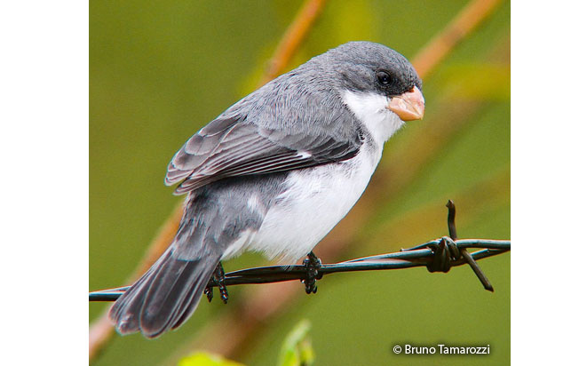 white-bellied_seedeater
