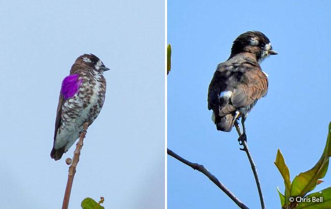 white-browed_purpletuft