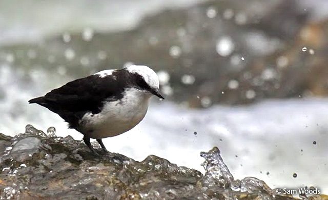 white-capped_dipper