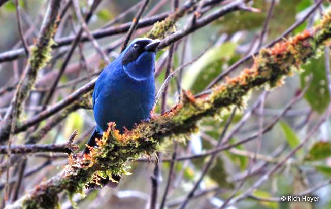 white-collared_jay
