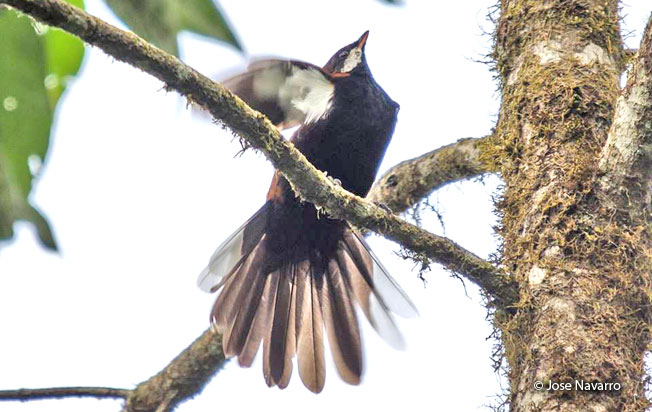 white-eared_solitaire