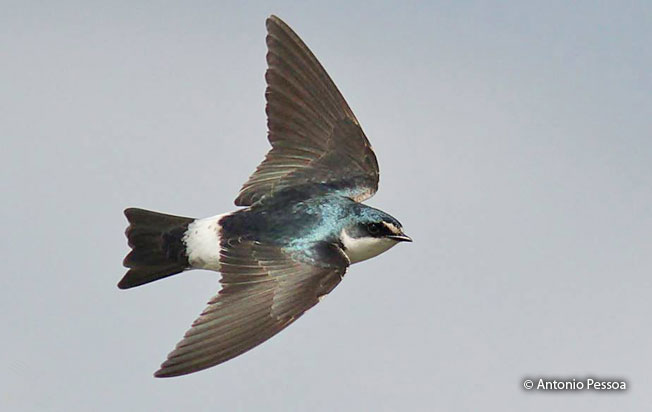 white-rumped_swallow