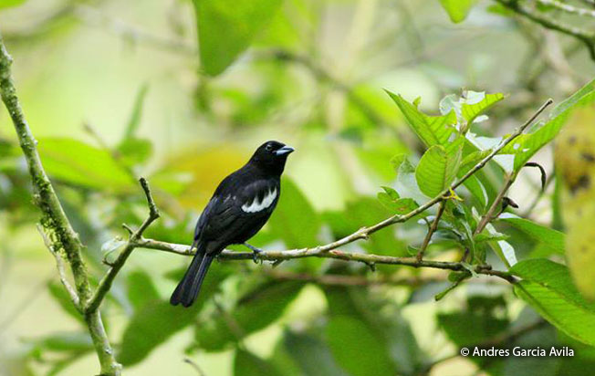 white-shouldered_tanager-