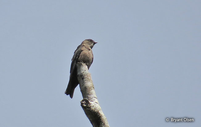 white-thighed_swallow