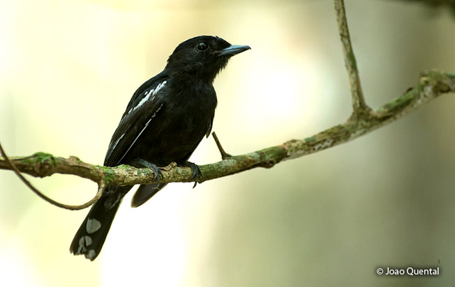 white-winged_becard