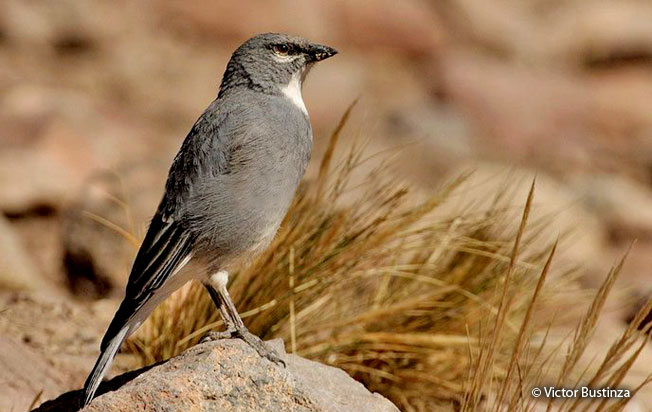 white-winged_diuca-finch