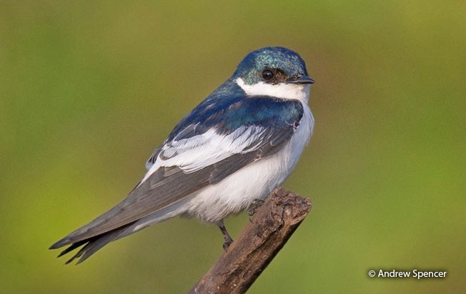 white-winged_swallow