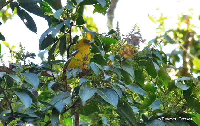 white-winged_tanager