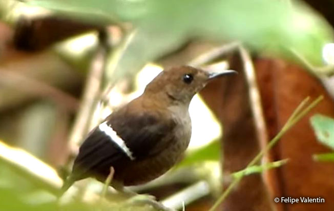 wing-banded_wren