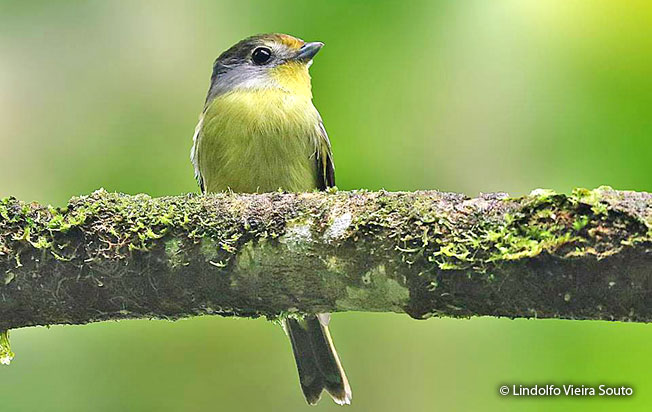 wing-barred_piprites