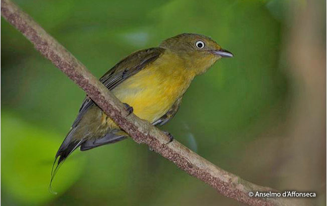 wire-tailed_manakin