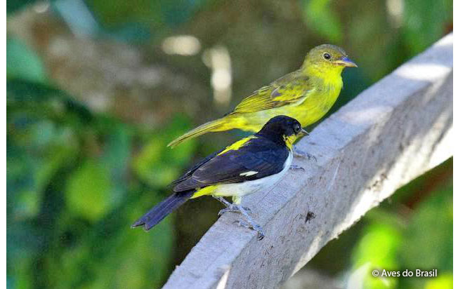 yellow-backed_tanager