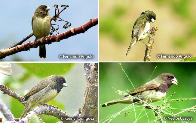 yellow-bellied_seedeater