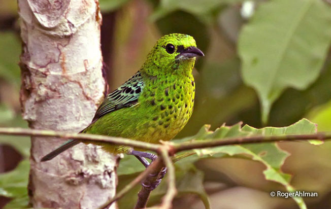 yellow-bellied_tanager