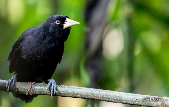 yellow-billed_cacique