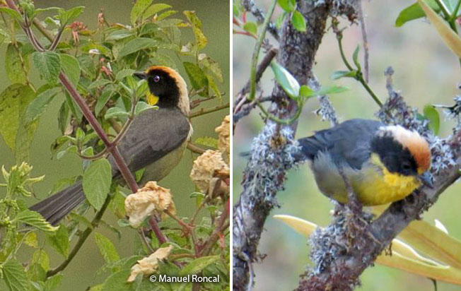 yellow-breasted_brush-finch