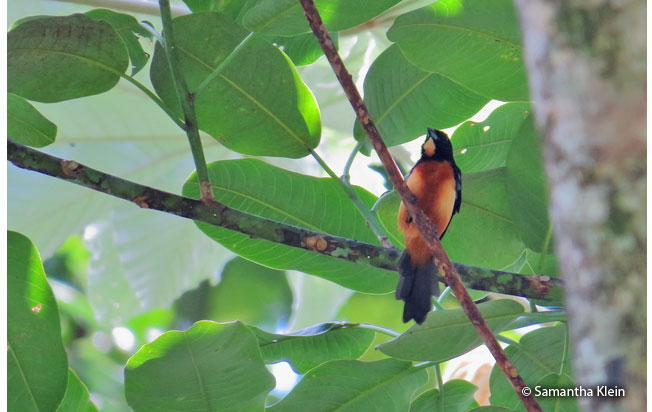 yellow-crested_tanager