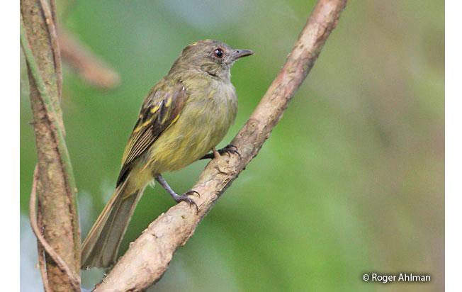 yellow-crowned_elaenia