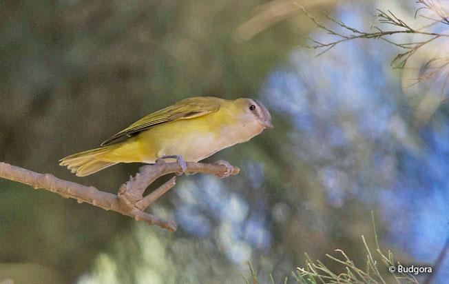 yellow-green_vireo