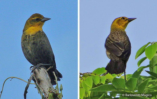 yellow-hooded_blackbird