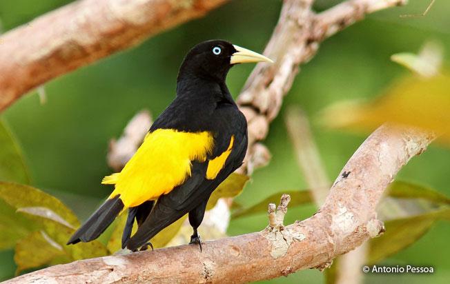 yellow-rumped-cacique