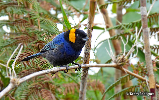 yellow-scarfed_Tanager