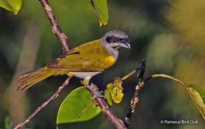 yellow-shouldered_grosbeak