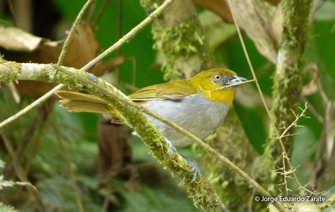 yellow-throated-chlorospingus