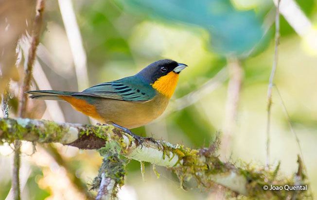 yellow-throated_tanager