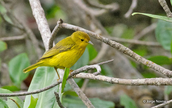 yellow-warbler