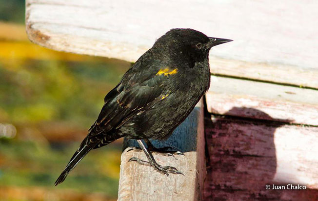 yellow-winged_blackbird