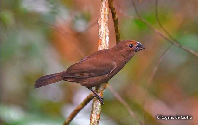 Amazonian-Grosbeak