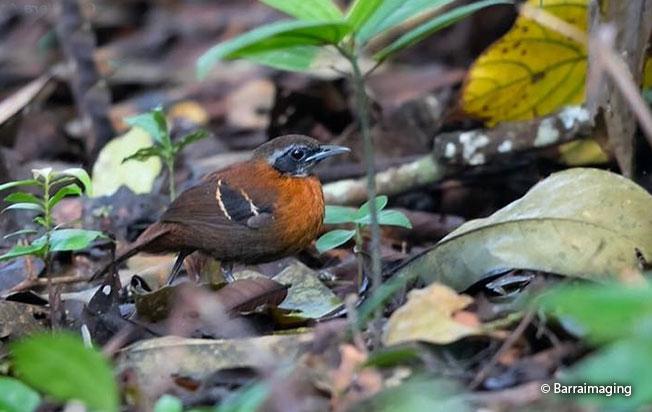 cordillera-azul-antbird