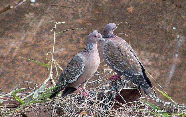 picazuro_pigeon