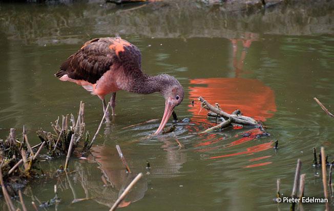 scarlet_ibis