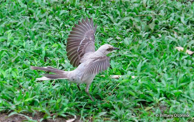 tropical_mockingbird
