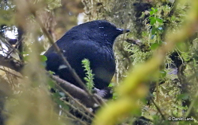 large-footed_tapaculo
