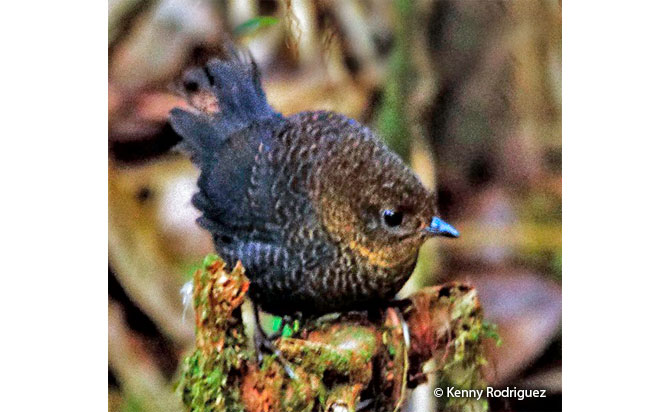 rufous-vented_tapaculo