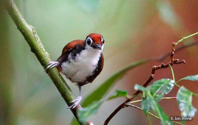 white-cheeked_antbird