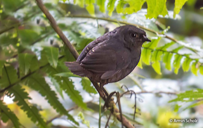 white-crowned_tapaculo