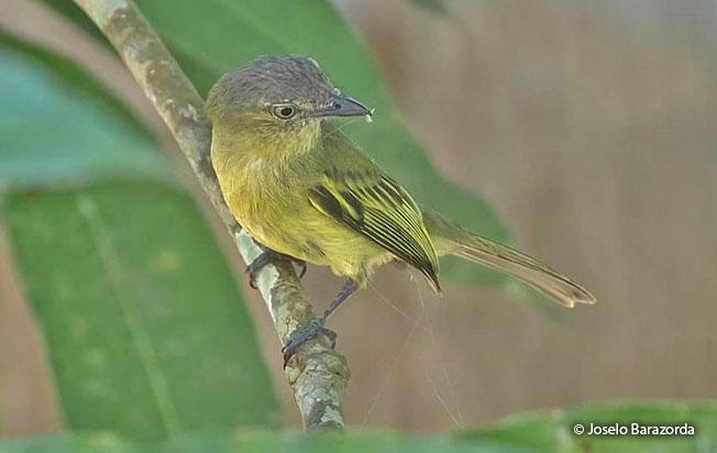 yellow-olive_flycatcher