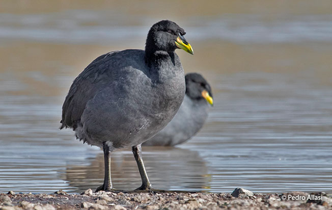 horned_coot