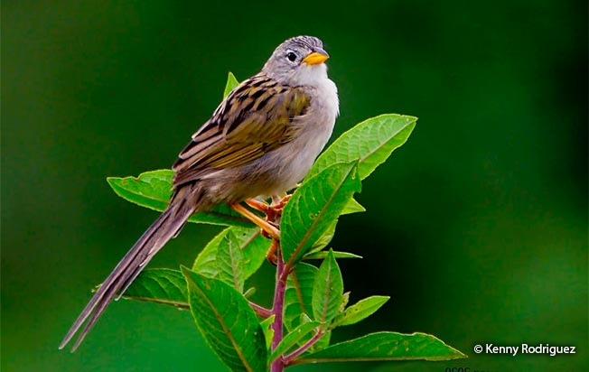 wedge-tailed_grass-finch