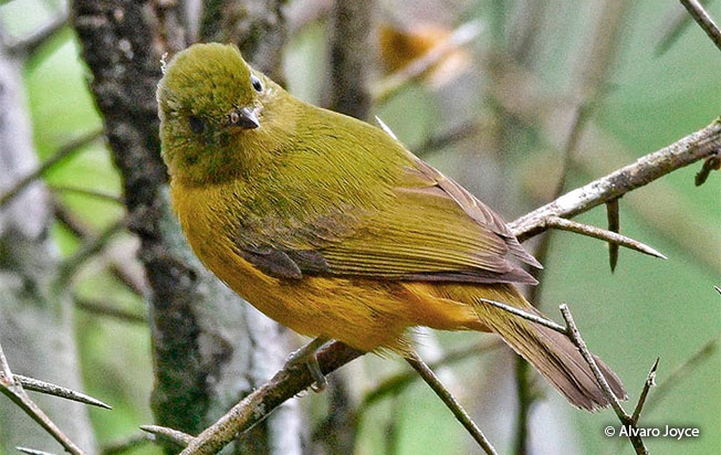 mcconnell's_flycatcher