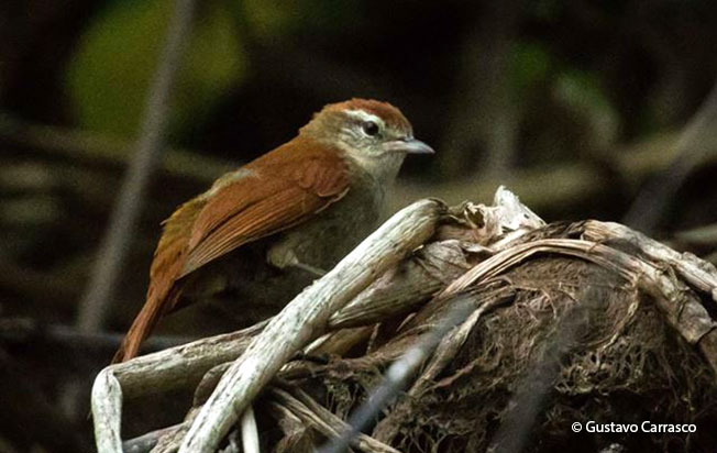 rusty-backed_spinetail