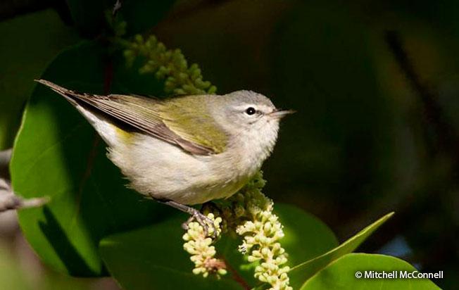 tennessee-warbler