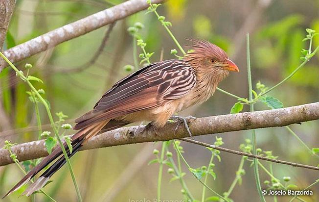 guira-cuckoo