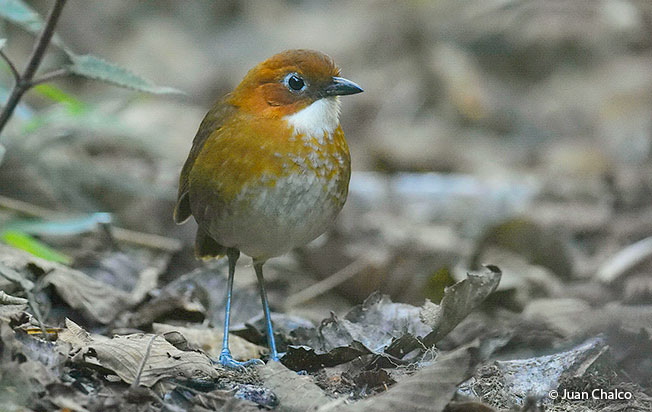 red and white antpitta