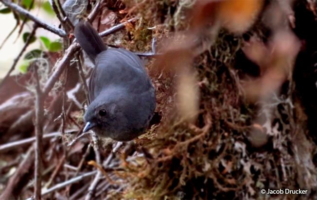 trilling tapaculo