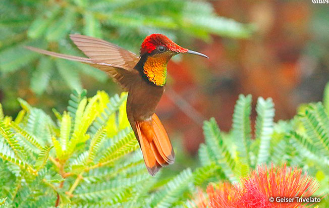 ruby-topaz_hummingbird